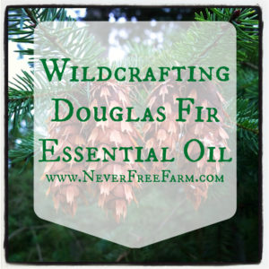 Wildcrafting Douglas Fir Essential Oil